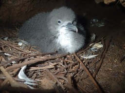 Newell's Shearwater chick from Upper Limahuli Preserve