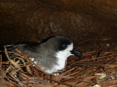 Hawaiian Petrel in its burrow in Hono O Na Pali Natural Area Reserve - photo by Oscar Johnson