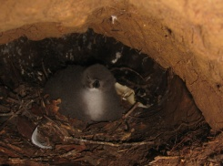 Hawaiian Petrel chick in its burrow. Photo by Andre Raine
