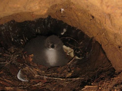 Hawaiian Petrel chick in its burrow. Photo by Andre Raine