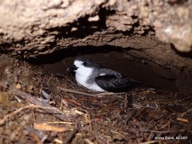Hawaiian Petrel in its burrow