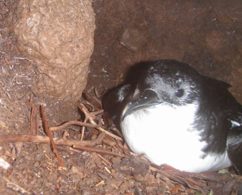 Newell's Shearwater in its burrow at Upper Limahuli Preserve - photo by Emily Haber