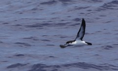 Newell's Shearwater near Kaua'i - photo by Daniel Webster