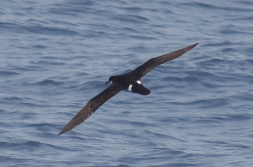 Newell's Shearwater near Kaua'i. Photo by Robin Baird