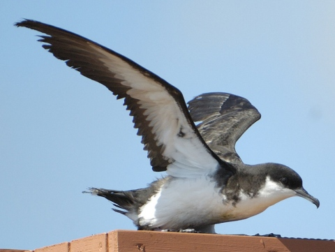 The Newell's Shearwater, like all Procellariiformes, is supremely adapted to life at sea (photo by Jim Denny)