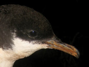 The 'tube-nose' nostrils of this Newell's Shearwater are vital to life on the ocean (photo by Andre F. Raine)