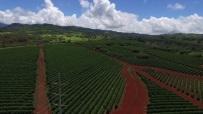 Power lines running through coffee fields (drone photo)