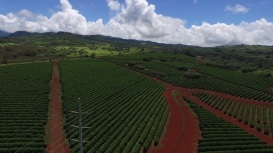 Power lines running through coffee fields (drone photo)