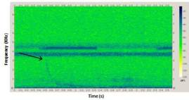 Sound spectrogram of a Newell's Shearwater colliding with a power line (credit Conservation Metrics, Inc.)