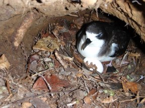Incubating Hawaiian Petrel (photo by Trevor Joyce)