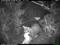 Game camera photo of cat with bird in mouth - courtesy DLNR Natural Area Reserve System