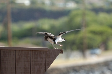 Newell's Shearwater being released (photo by Jim Denny)