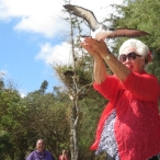 Rehabilitated Newell's Shearwater being released