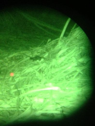 A different view of a Newell's Shearwater - seen through night vision at Kilauea Point NWR. Photo by Brooke McFarland