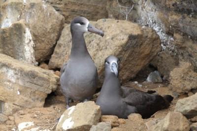 black footed albatross pair
