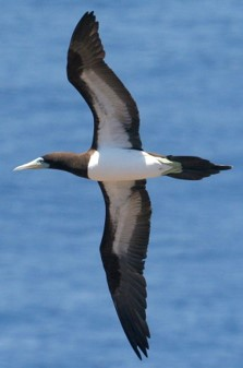 brown booby flight