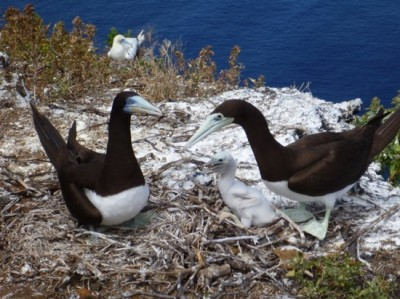 brown booby pair