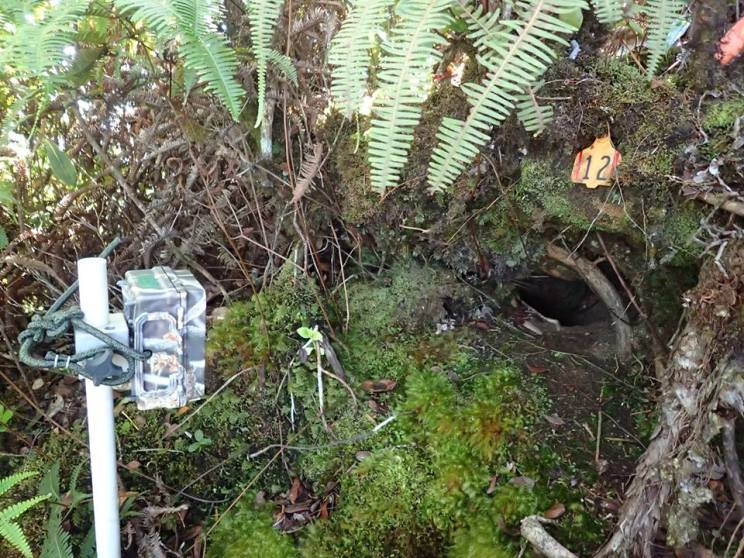A camera monitoring a Hawaiian Petrel burrow in Upper Limahuli Preserve. Photo by Andre Raine.