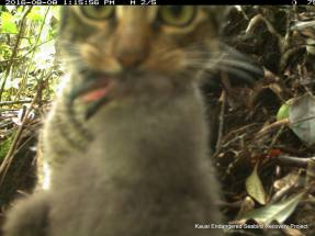 Cat carring a chick away from its burrow