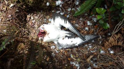Remains of a Hawaiian Petrel after a cat predation