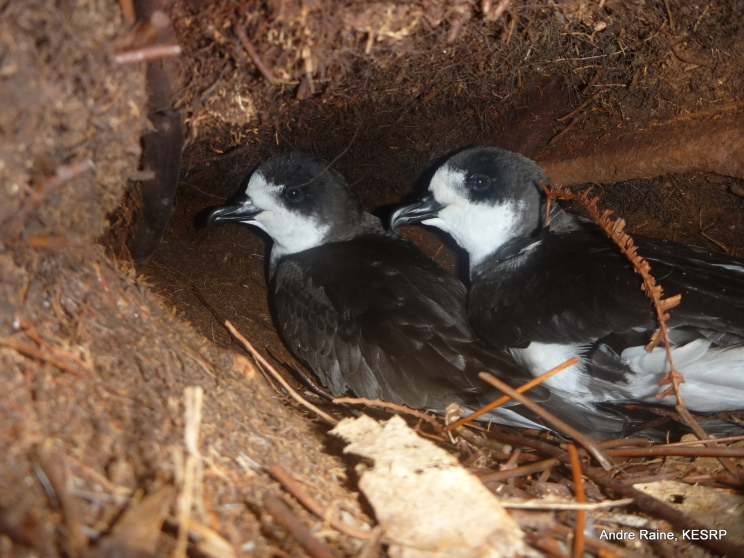 Hawaiian Petrel pair being cozy in their burrow. Photo by Andre Raine