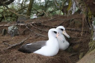 laysan albatross pair