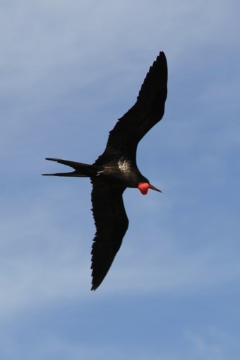 male great frigatebird