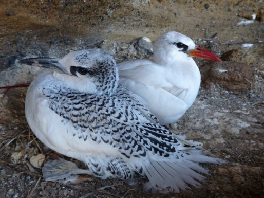 red tailed tropicbird and young