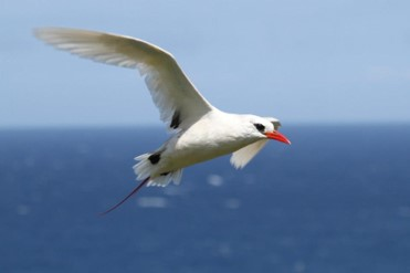 red tailed tropicbird flight