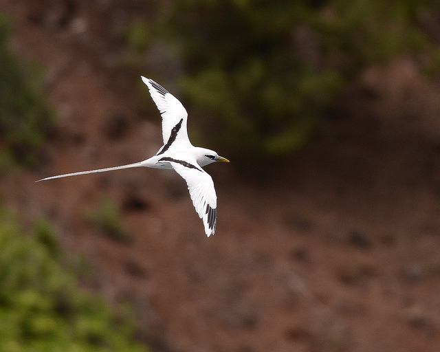 White-tailed-tropicbird-in-flight